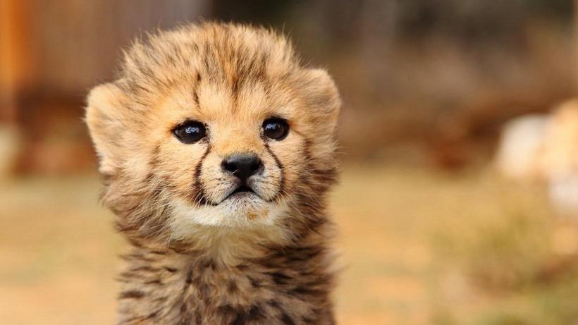 Baby kitty Cheetah AWWWWWWW