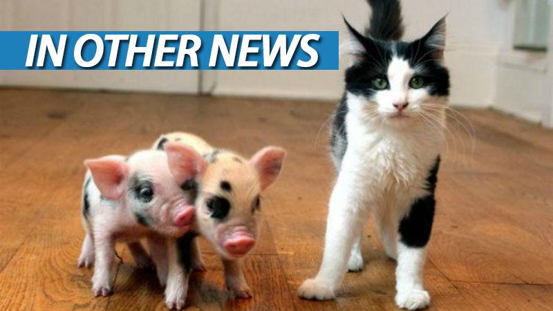 Ion teacup pigs