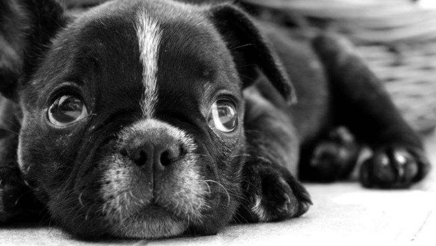 Black french bulldog puppy photo