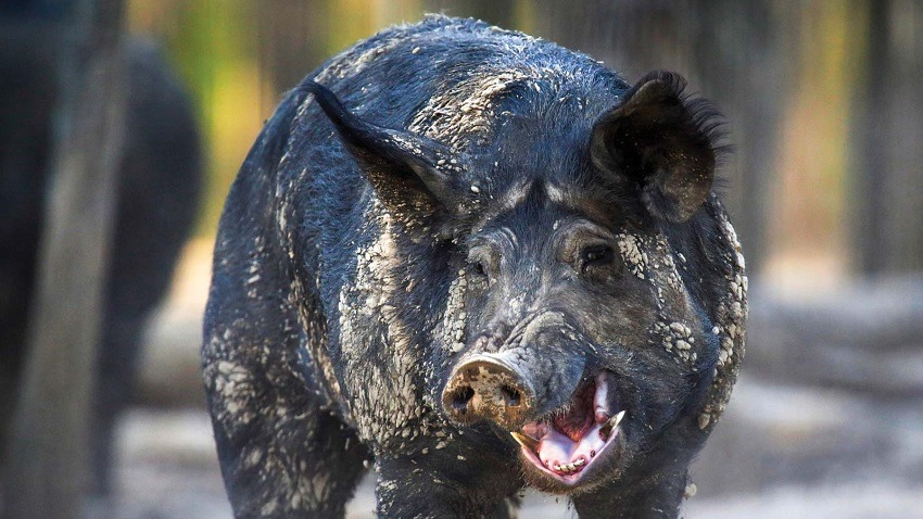 What is this 30-50 Feral Hogs stuff and why won't the ...